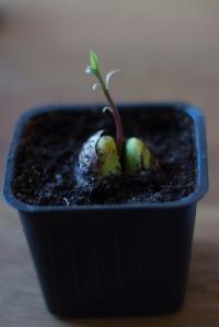 avokado (1 av 1)-2