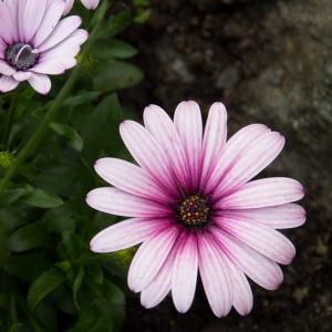 blomma (1 av 1)