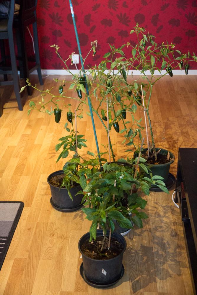chlilplantor (1 av 1)