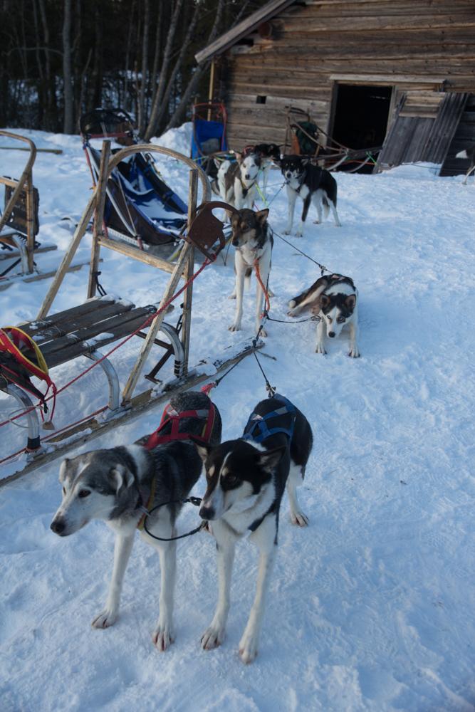hundar (1 av 1)
