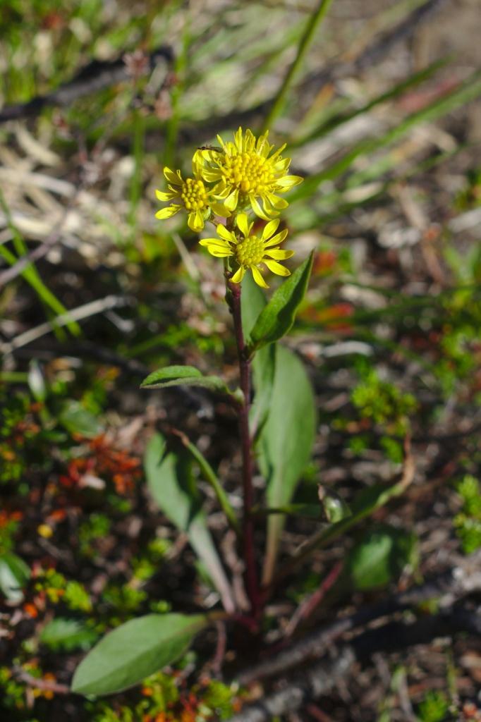 Lappgullris (Solidago virgaurea ssp. alpestris)