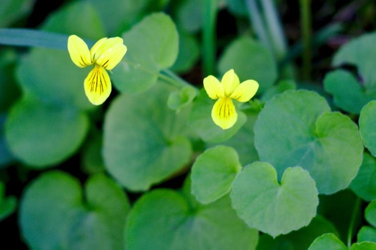 Fjällviol (Viola biflora)